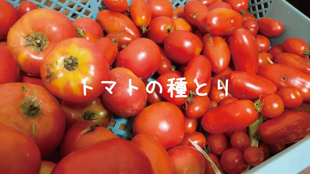 トマトの種採り